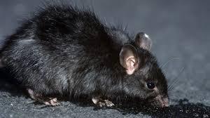 Tratamiento Contra Roedores Rata Negra